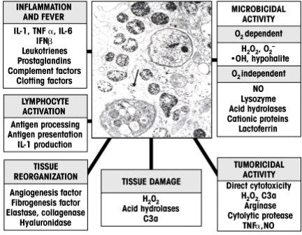 Role of Macrophages in Chronic Inflammation